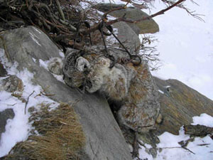 Alaska Wolf Hunting Castle Rock Outfitters